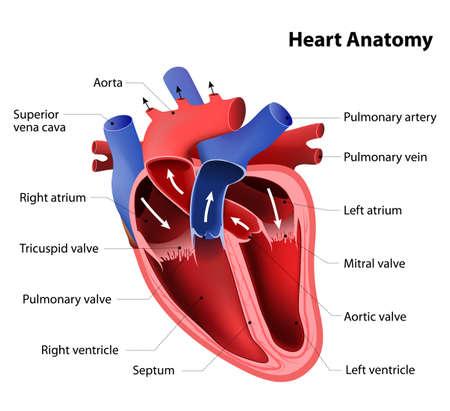 Illustration pour heart anatomy. Part of the human heart - image libre de droit