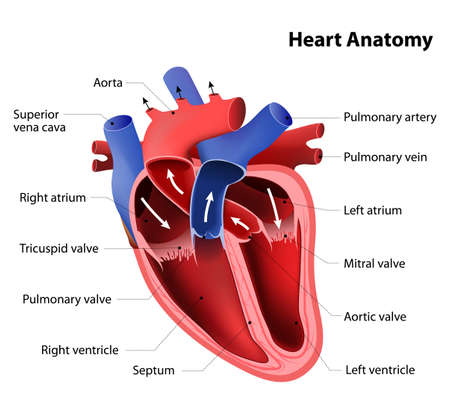 Illustrazione per heart anatomy. Part of the human heart - Immagini Royalty Free