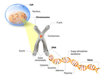 Illustration pour Cell, Chromosome, DNA and gene. Cell Structure. The DNA molecule is a double helix. A gene is a length of DNA that codes for a specific protein. Genome Study - image libre de droit