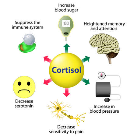 Illustrazione per Cortisol Functions. Cortisol is released in response to stress and low blood-glucose concentration. - Immagini Royalty Free