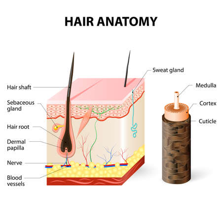 Illustration pour Hair anatomy. The hair shaft grows from the hair follicle consisting of transformed skin tissue. The epidermal cells transform at the command of the dermal papilla cells and generate the hair shaft. - image libre de droit