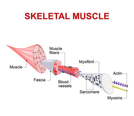 Illustration pour Each skeletal muscle fiber has many bundles of myofilaments. Each bundle is called a myofibril. This is what gives the muscle its striated appearance. The contractile units of the cells are called sarcomeres. - image libre de droit