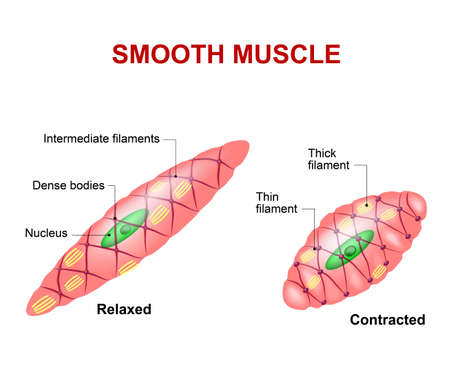 Illustration pour Smooth muscle tissue. Anatomy of a relaxed and contracted smooth muscle cell - image libre de droit