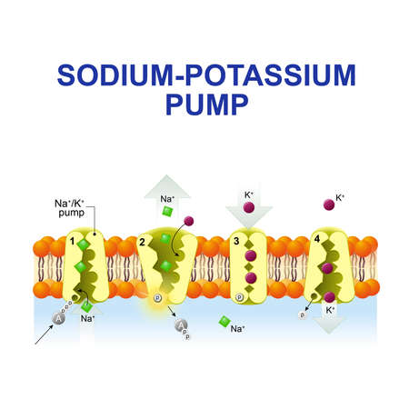 Illustration pour sodium-potassium pump or sodium-potassium adenosine triphosphatase. After binding ATP, the pump binds 3 ions sodium. ATP is hydrolyzed. the ions go to the outside. then The pump binds 2 extracellular ions potassium and transporting the ions into the cell. - image libre de droit