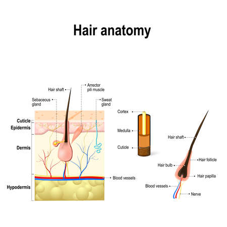 Illustration pour human Hair Anatomy. Diagram of a hair follicle and cross section of the skin layers - image libre de droit