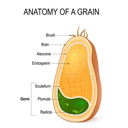Illustration for Anatomy of a grain. cross section. inside the seed. parts of whole grain: endosperm, bran with aleurone layer, germ (radicle, plumule, scutellum)  hairs of brush. - Royalty Free Image