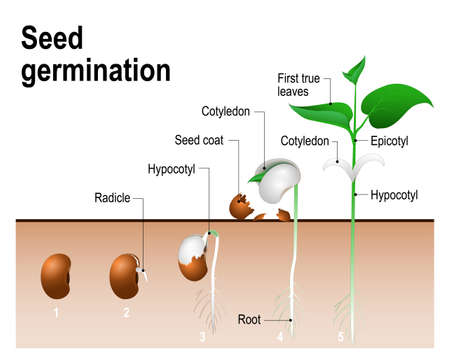 Ilustración de Seed germination.  Early stages of growing of bean seed. The most common example of process of germination from a seed. Plant Development - Imagen libre de derechos