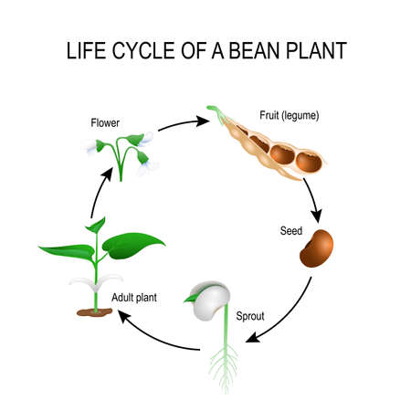 Illustration pour life cycle of a bean plant. Stages of growing of bean seed. The most common example of life cycle from a seed to adult plant. Plant Development. Useful for study botany and science education - image libre de droit