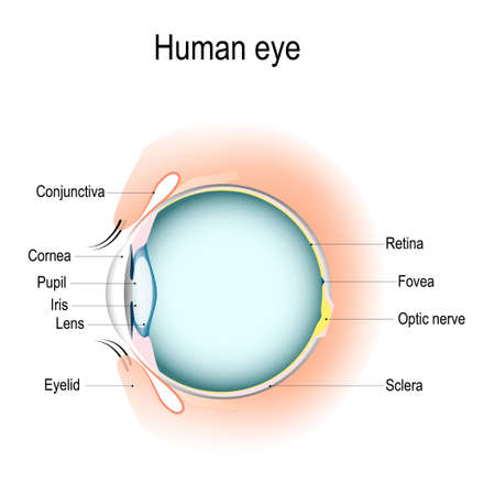 Illustration for Anatomy of the human eye, vertical section of the eye and eyelids. Schematic diagram detailed illustration. - Royalty Free Image