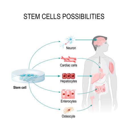 Illustration pour Stem cells possibilities. These cells can become any tissue in the body. Internal organs in the background of a male figure and a human cell (gepatocytes, osteocyte, cardiac, enterocytes, neuron). - image libre de droit