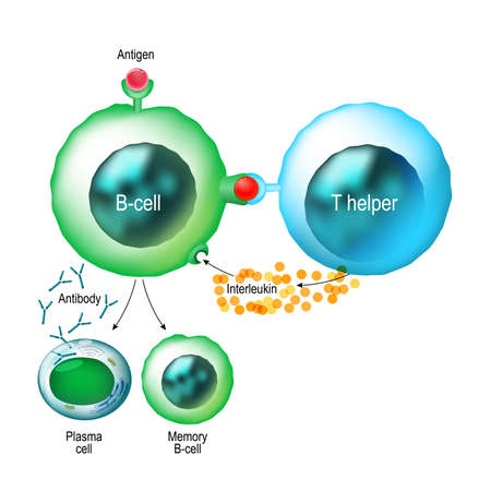 Illustration for B-cell and T helper cells. Basic B-cells function: bind an antigen, receive help from a T helper cell, and differentiate into a plasma cell that secretes large amounts of antibodies. Human immune system - Royalty Free Image