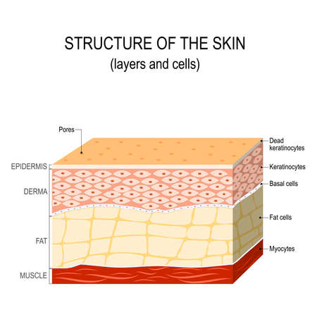 Illustrazione per Structure of the human skin. Layers and cells - Immagini Royalty Free