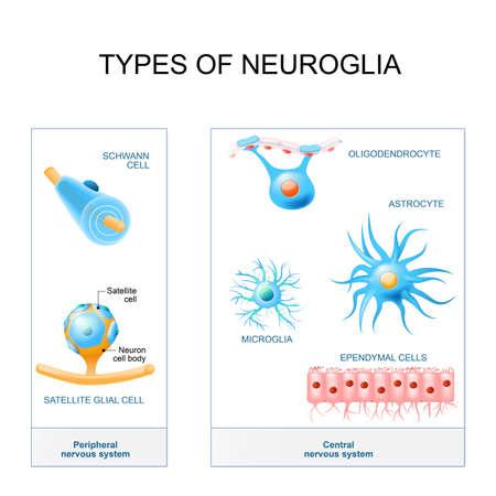 Illustration for Types of neuroglia illustration. - Royalty Free Image