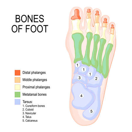 Ilustración de Bones of foot. Human Anatomy. The diagram shows the placement and names of all bones of foot. - Imagen libre de derechos
