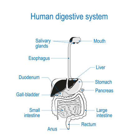 Illustrazione per human digestive system. location of the gastrointestinal tract in the human body. text labels. black and white Vector. line illustration for your coloring. For science and educational use - Immagini Royalty Free
