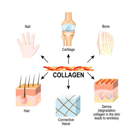 Illustration pour Collagen is the main structural protein in the: connective tissues, cartilages, bones, nails, derma and hair. Synthesis and types of collagen. Vector illustration for medical, science, and educational use. skincare  - image libre de droit