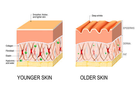 Illustration pour Visual representation of skin changes over a lifetime. Collagen and elastin form the structure of the dermis making it tight and plump. Fibroblasts synthesize collagen and elastin. difference between the skin of a young and elderly person. Vector illustration for medical and educational use - image libre de droit