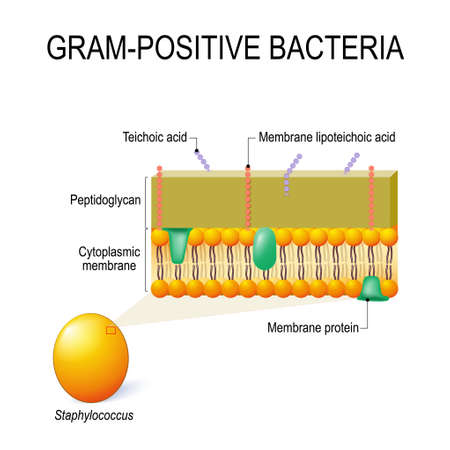 Illustrazione per cell wall structure of Gram-positive Bacteria for example Staphylococcus. Vector diagram for educational, medical, biological and science use - Immagini Royalty Free
