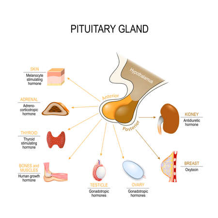 Illustration pour pituitary hormone functions. The two lobes, anterior and posterior, function as independent glands. Vector diagram for educational, medical, biological and science use - image libre de droit