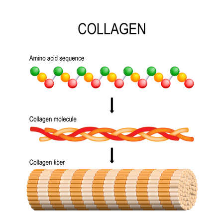 Illustration pour Collagen (fiber, molecule, and Amino acid sequence). Molecular structure. Three polypeptides coil to form tropocollagen. Tropocollagens bind together to form a fibril. Many fibrils bind together form a collagen fibre. Vector diagram for educational, medical, biological and science use. Connective tissue - image libre de droit