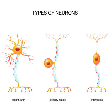 Illustration for types of neurons: sensory and motor neurons, and interneuron. Humans nervous system. - Royalty Free Image