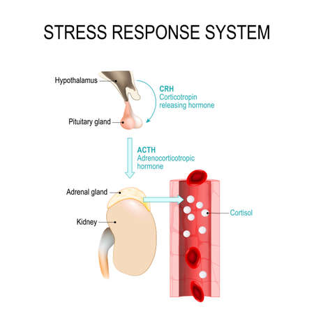 Ilustración de stress response system. fight-or-flight response is a physiological reaction that occurs in response to threat to life. vector diagram for medical, educational and scientific use. - Imagen libre de derechos