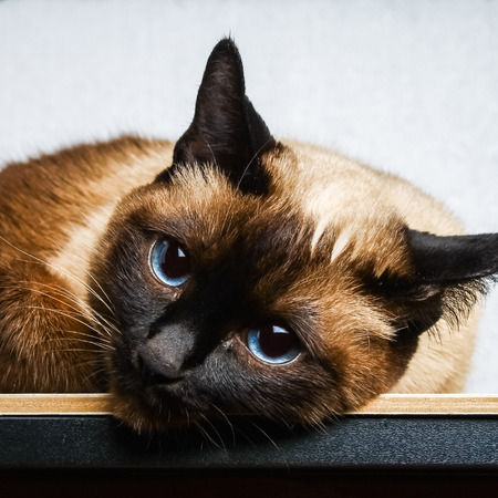 Foto de Siamese Thai cat lies and looks into the camera, in the frame, in the soul. Sadness, melancholy, loneliness - Imagen libre de derechos