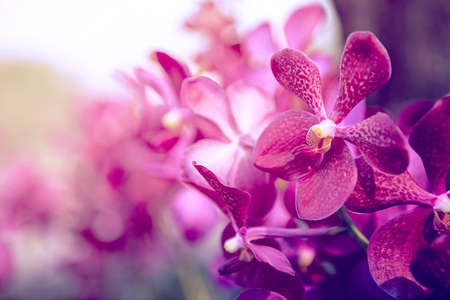 Photo for Beautiful Purple orchid flower tree. - Royalty Free Image