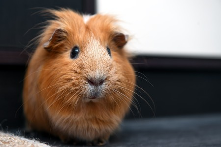 Portrait of guinea pig. Close up photo.