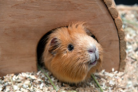 Portret of red guinea pig in her wooden house.