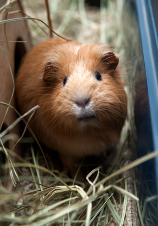 Portret of red guinea pig. Close up.