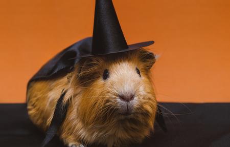 Foto de Portrait of cute red guinea pig in cute halloween costume. - Imagen libre de derechos