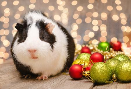 Foto de Little cute guinea pig in Christmas decoration - Imagen libre de derechos
