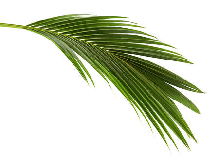 Photo pour Coconut leaves or Coconut fronds, Green plam leaves, Tropical foliage isolated on white background with clipping path - image libre de droit