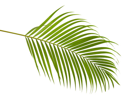 Photo pour Yellow palm leaves (Dypsis lutescens) or Golden cane palm, Areca palm leaves, Tropical foliage isolated on white background with clipping path - image libre de droit