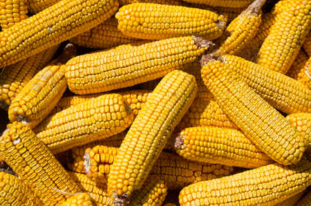 Foto de Corn on cobs closeup. Grains of ripe maize. Forage mealies seed. Export and import of grain. - Imagen libre de derechos