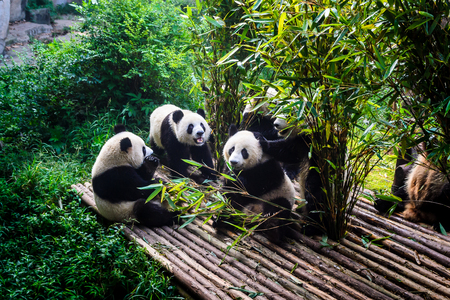 Photo pour Pandas enjoying their bamboo breakfast in Chengdu Research Base, China - image libre de droit