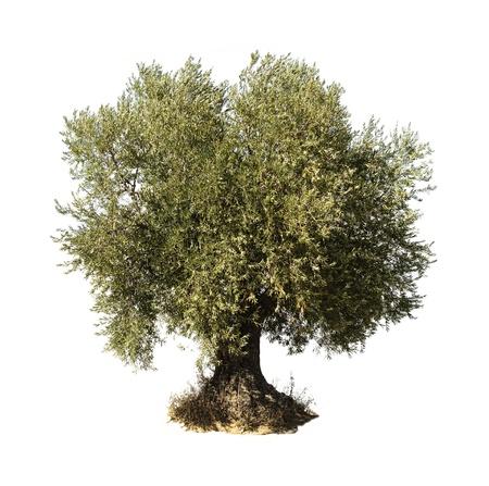 Photo for Olive tree white isolated. - Royalty Free Image