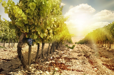 Photo pour Vineyards at sunset in autumn harvest. Ripe grapes in fall.Cluster grapes on left - image libre de droit