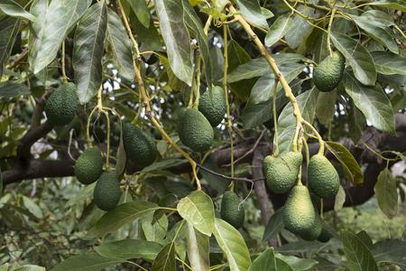 Foto de Avocado on a branch. Laden with fruit - Imagen libre de derechos
