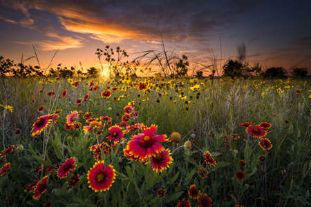 Sunflowers and Indian blanket wildflowers in early dawn light