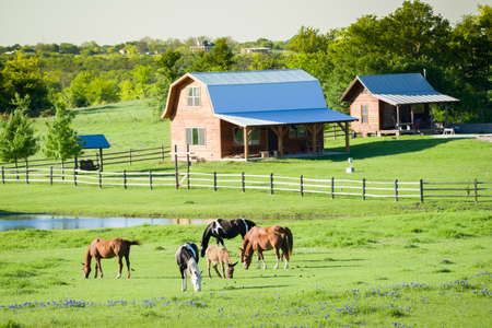 Foto de Farm animals grazing in  a lush bluebonnet-filled field in Texas - Imagen libre de derechos