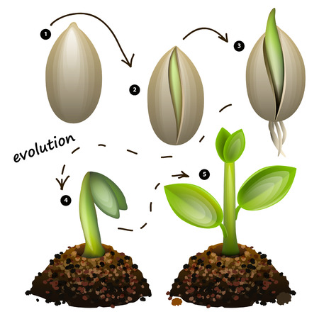 Illustration pour Stages of plant growth. Isolated on white background - image libre de droit