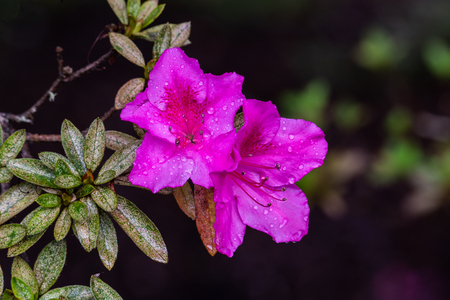 Photo pour Pair of vividly pink Azalea flowers (rhododendron indicum) on Hawaii's Big Island. Raindrops on the petals from recent rain. Near Volcano National Park. - image libre de droit