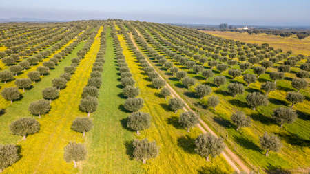 Photo pour Drone aerial view of Giant olive grove in Alentejo Portugal - image libre de droit