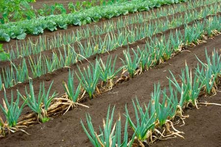 Foto de Well-kept green onion field - Imagen libre de derechos