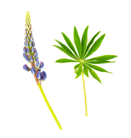 Photo for lupine flower isolated on white background - Royalty Free Image