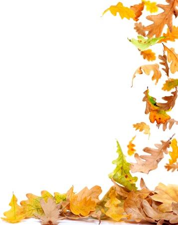 Falling autumn oak leaves isolated on white