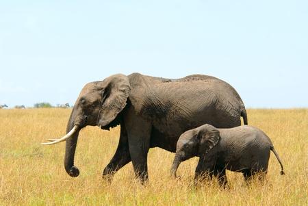 Walking african elephants mother and baby (Masai Mara Reserve, Kenya)