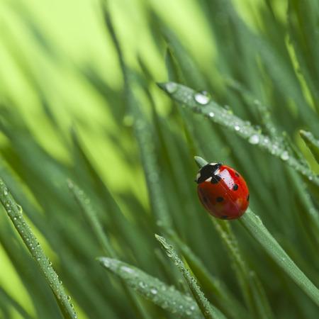 Photo pour Ladybird on grass - image libre de droit